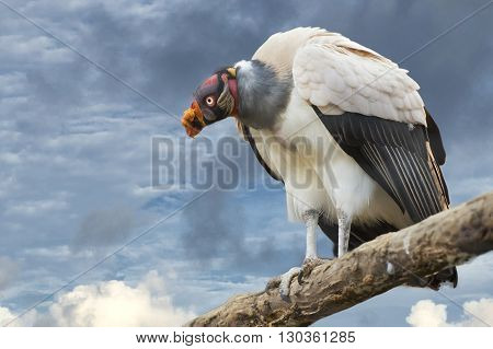 sarcoramphus papa vulture buzzard portrait detail looking at you