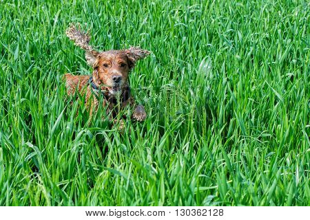 Dog Puppy Cocker Spaniel Playing In The Grass Field