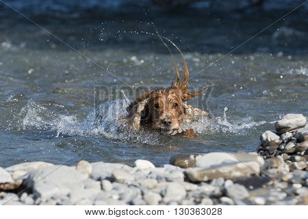 Isolated English Cocker Spaniel While Playing In The River