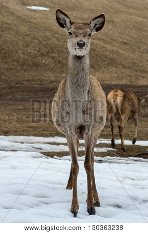 Deer Portrait While Looking At You