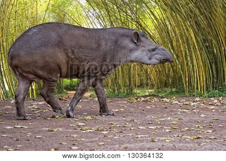 Sud American Tapir Close Up Portrait In The Jungle