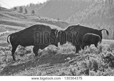 Bison Buffalo Family Sunset Silhouette In Black And White