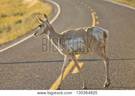 Isolated  Young  Pronghorn Deer Crossing The Road In Lamar Valley Yellowstone