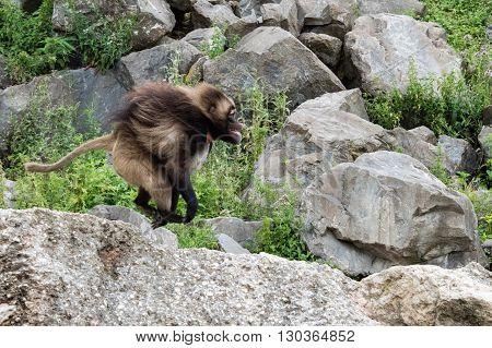 Gelada Baboon Monkey Ape Portrait Running