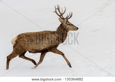 Deer Running On The Snow In Christmas Time