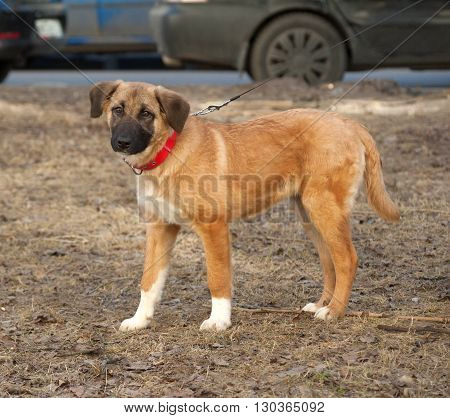 Yellow mongrel puppy in red collar standing on grass