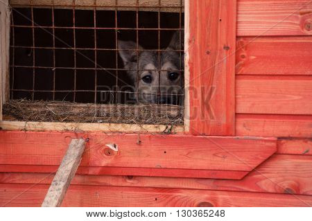 Gray dog looks out from behind lattice of shelter