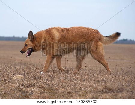 Redhead fat dog with his tongue hanging out running across field