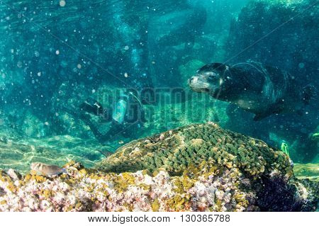 Californian Male Sea Lion Coming To You Underwater