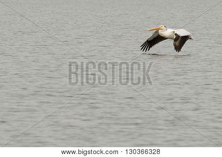 A Pelican Flying Over Water