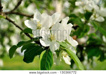 Closeup of spring apple flowers in blossom lit by soft sunlight- spring floral background. Apple tree branch in the spring sunny garden. Selective focus at the central flower.