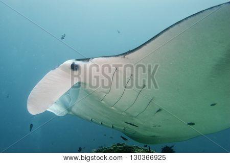 Manta Close Up Portrait Underwater