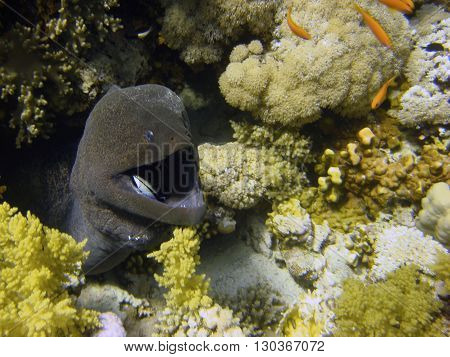 Isolated Morey Eel Looking At You With A Cleaner Fish