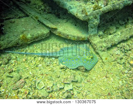 A Parnsip Spotted Stingray On A Ship Wreck