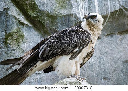 Lammergeyer vulture buzzard close up portrait detail