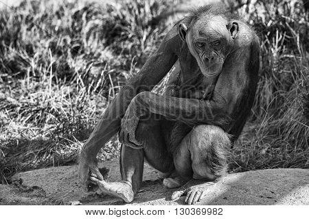 Bonobo Ape Portrait Close Up In B&w