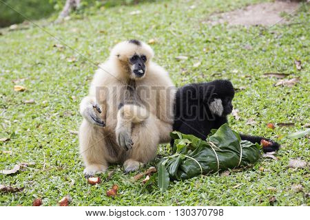 White and Black Cheeked Gibbon or Lar Gibbon eating the fruit