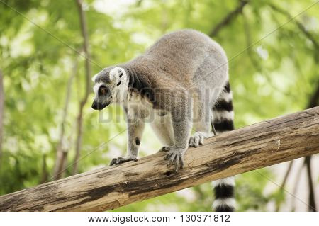 A Ring-tailed lemur standing on the tree