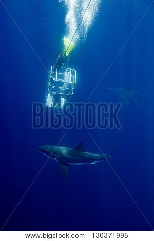 Cage Dive With White Shark Ready To Attack
