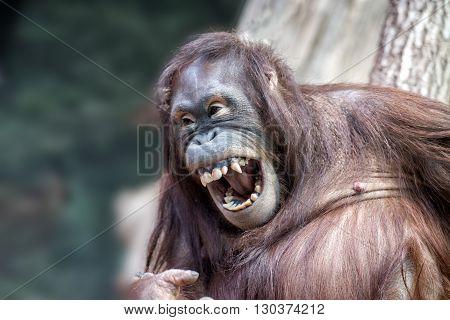Orangutan Monkey Close Up Portrait