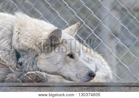 Spitzbergen island svalbard sled dog farm sad look