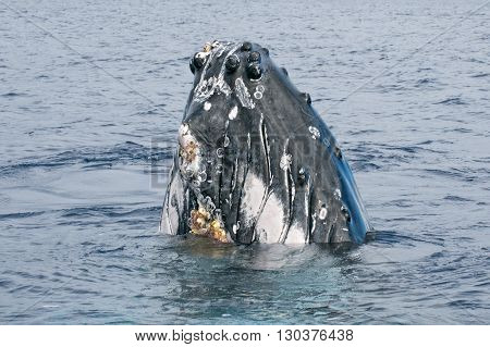 Humpback Whale Head Coming Up