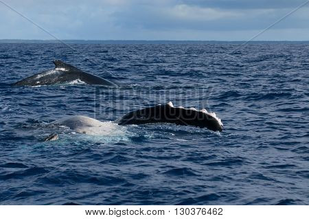 Humpback Whale Fin And Back Going Down In Blue Polynesian Sea