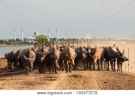 Buffalo over the field and mud in Thailand
