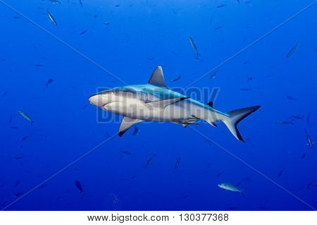 Grey Shark Ready To Attack Underwater