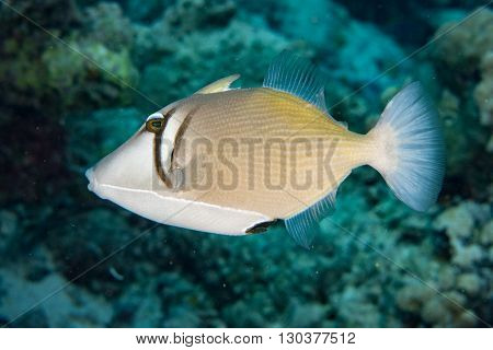 clown triggerfish portrait in maldives picasso on reef