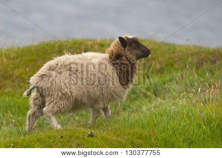 A White And Brown Sheep On The Blue Sea And Grass Background