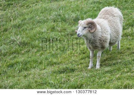 Big White Ram Sheep