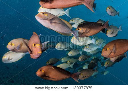 School Of Surgeon Fish In The Blue