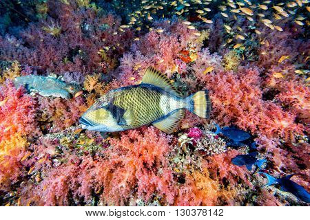 titan triggerfish on soft corals background on reef