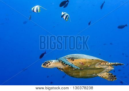 Turtle Swimming On The Blue Ocean
