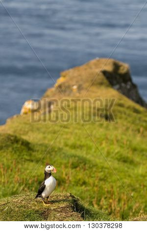 A Colorful Puffin Portrait Isolated In Natural Enviroment On Grass And Blue Background
