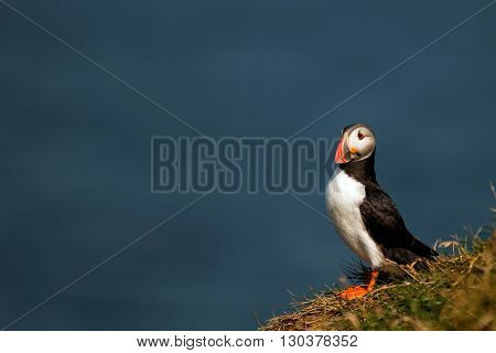 Puffin Portrait On The Blue Sea Background
