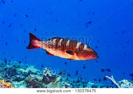 Red Colorful Grouper Isolated On Ocean
