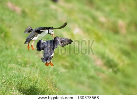 two puffin landing on green grass in far oer island