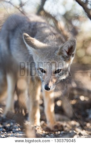 Grey Fox Relaxing On The Beach