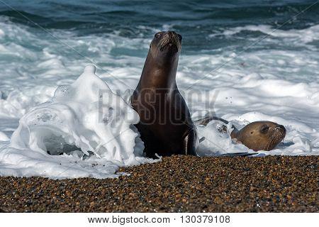 Female Sea Lion On The Beach
