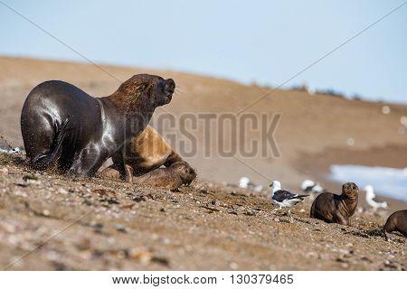 Male Sea Lion On The Beach