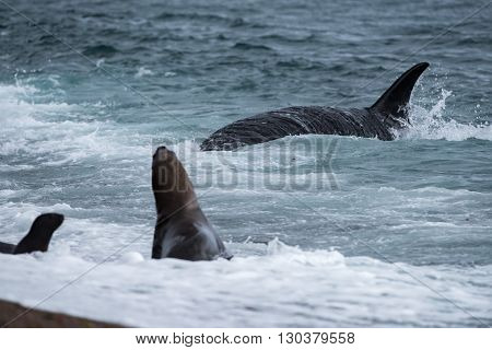 Orca Attack A Seal On The Beach