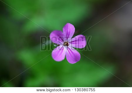 Flower of the Herb-Robert Geranium robertianum. A wild growing traditional medical plant.