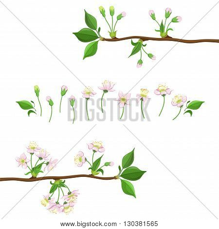 Cherry Blooming Process Hand Drawn Detailed Vector Illustration In Beautiful Realistic Style On White Background