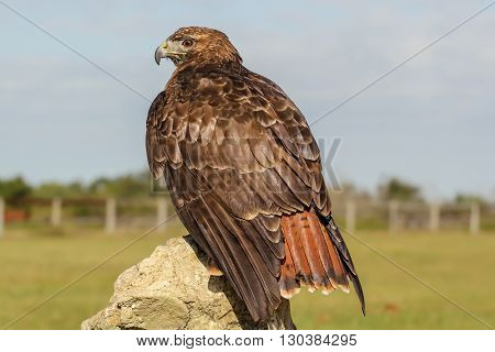 This is a captive Red-tailed Hawk. Taken in Florida.