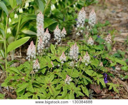 Foamflower (Tiarella) is a Perennial Flower That Grows in Shady Areas