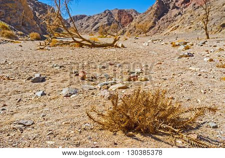 The tiny dry thorn with the dead camel thorn tree on the background in the desert valley of Eilat mountains Israel.