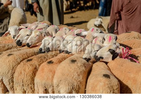 Herd of sheep bound together for sale at the weekly market in the south Moroccan town of Guelmim.