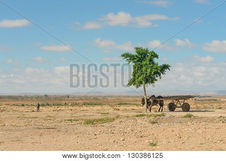 GUELMIM MOROCCO - OCTOBER 31 2015: A donkey with cart waiting for owner under a tree in southern Morocco.